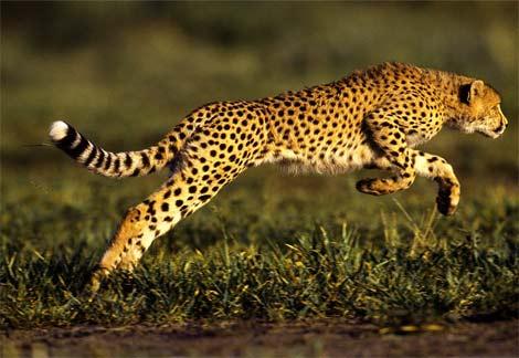 The efficient cheetah