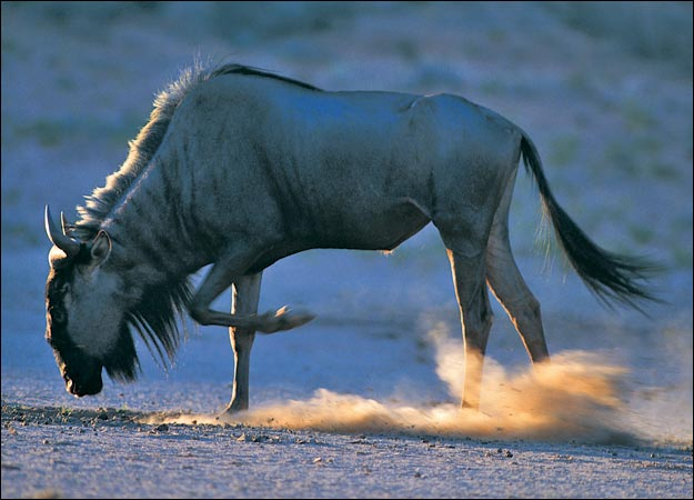 The enduring wildebeest