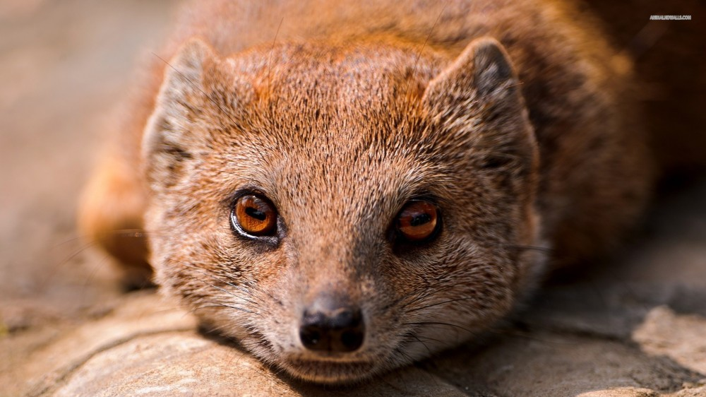 The risk-taking mongoose